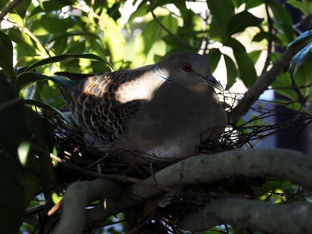 2_卵を抱いているハト2.jpg
