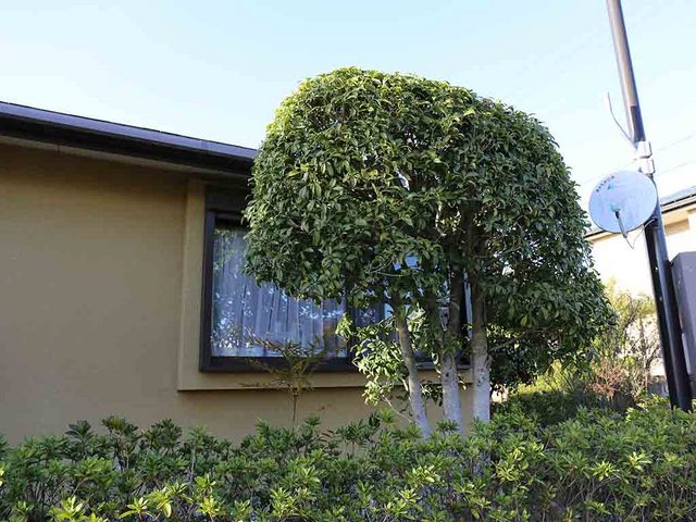 3_毎年、巣作りする木.JPG