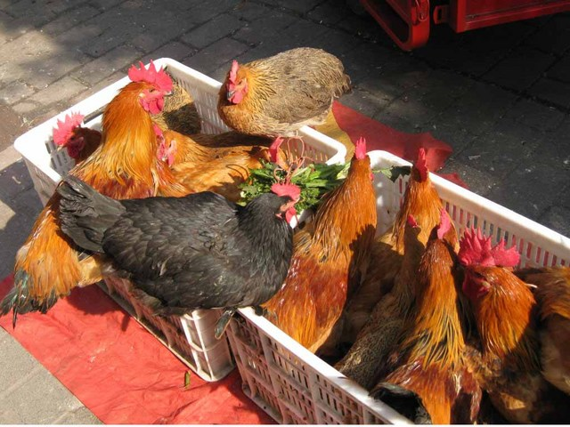 売られている鶏達